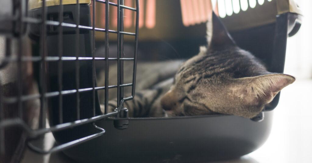 Tabby cat sleeping in carrier.
