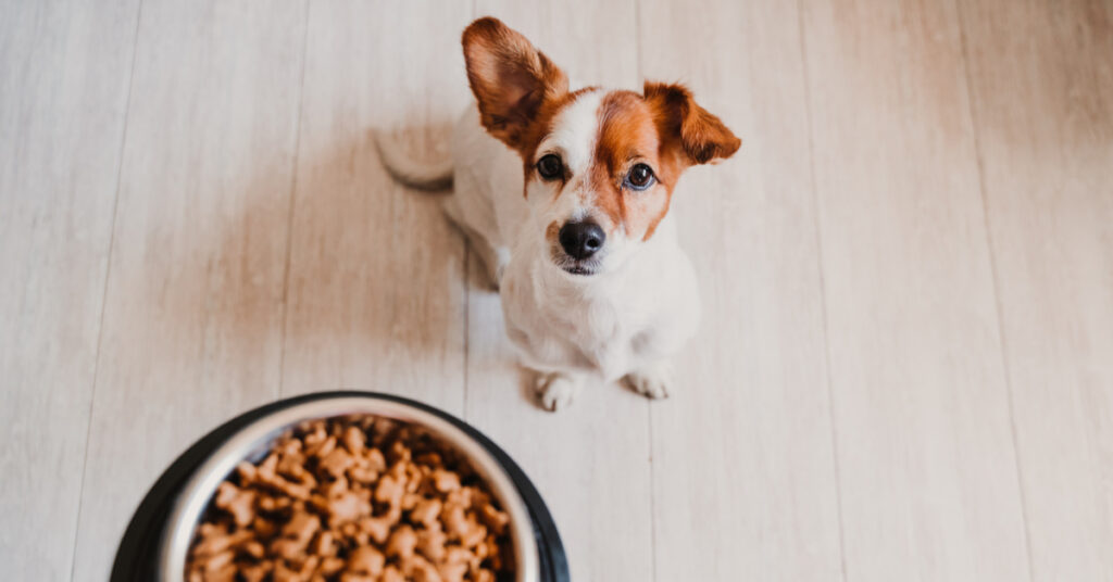 Small dog waiting for food.